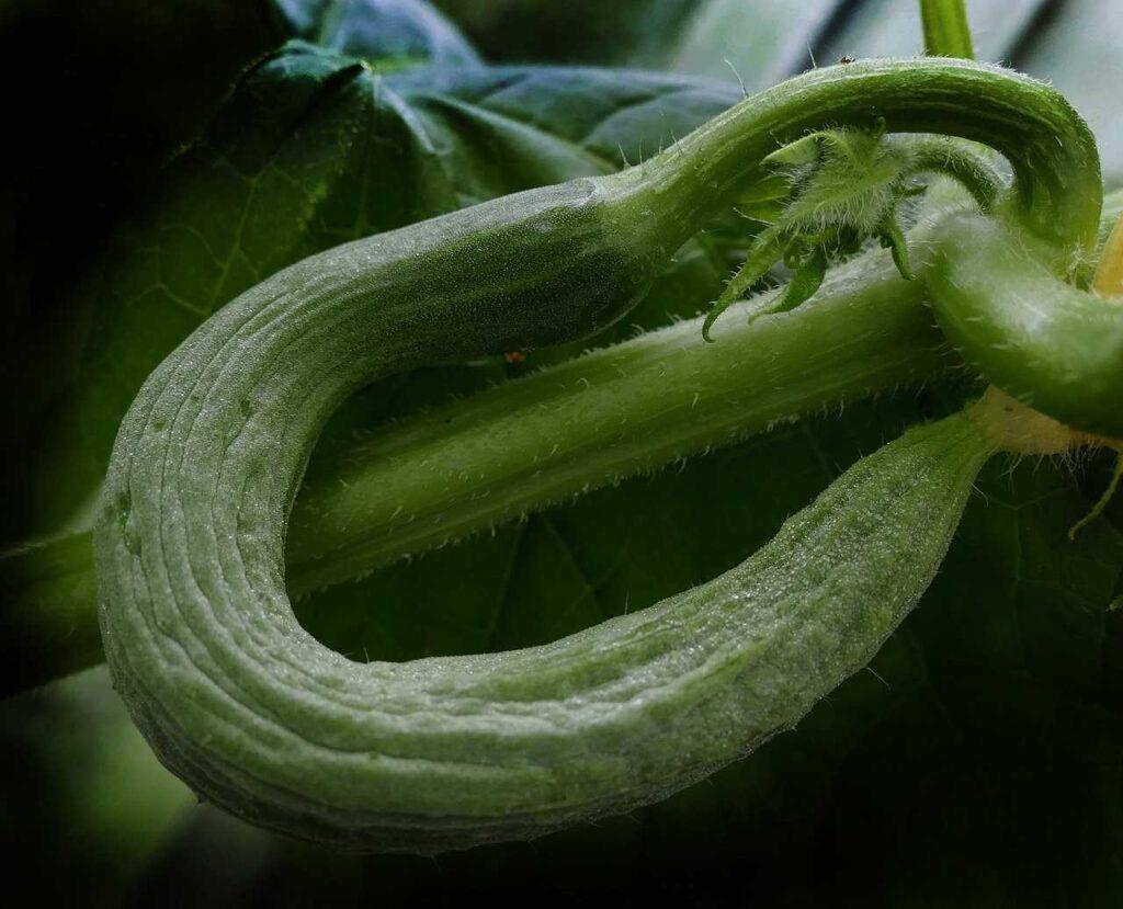 kromme komkommer