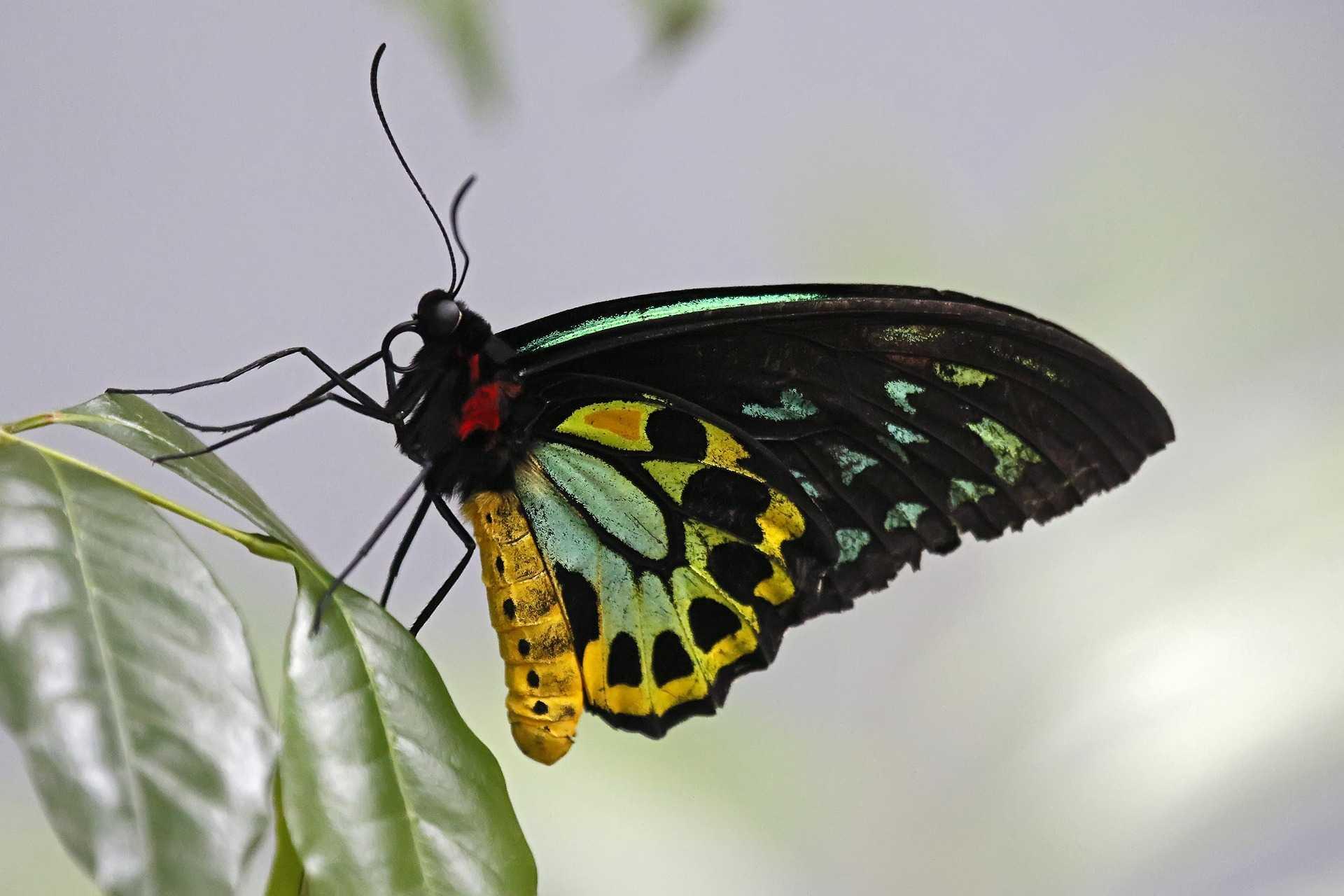 Birdwing vlinder
